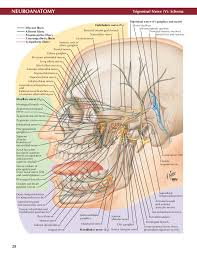 Exercise 17 Gross Anatomy Of The Brain And Cranial Nerves Netter Atlas Of Neuroanatomy And Neurophysiology