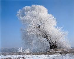 white tree beautiful white tree wallpapers beautiful white tree stock photos