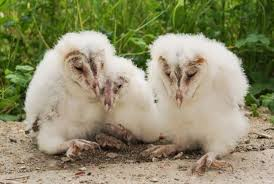 What Does A Barn Owl Look Like Baby Barn Owls Give Their Hungrier Siblings First Preference At