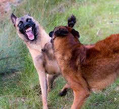 belgian shepherd malinois pronunciation talented animals blog u2013 page 2 u2013 animal training and ethics blog