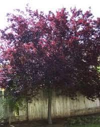 ls that look like trees trees with burgundy leaves purple leaf plum tree ls pinterest