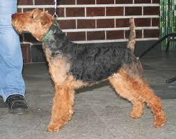 brushing a bedlington terrier welsh terrier wikipedia