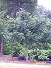 fast shade farmette in midlothian texas fast growing trees poplar