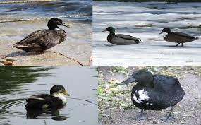 it walks and quacks like a mallard but does it look like one