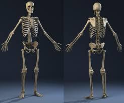 Human Anatomy Male Skeleton Anatomy Male Man Max
