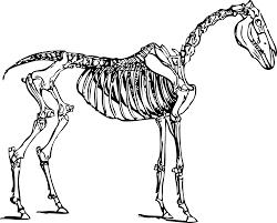 clipart horse skeleton