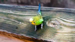 most popular wallpaper budgie parrot most popular world pet bird hd wallpaper gallery 285