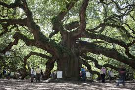 a grass roots rally to protect south carolina s oak