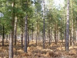 file scots pine trees in the alderhill inclosure new forest