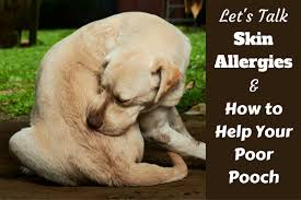 understanding dog skin allergies and how to help your poor pooch
