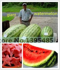 edible fruits 30pcs fruit seeds carolina watermelon seeds 400 lbs