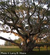 live oak tree on the tree guide at arborday org