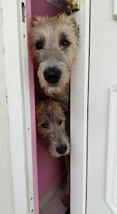 belgian sheepdog what s good about em irish wolfhound irish wolfhounds pinterest irish irish
