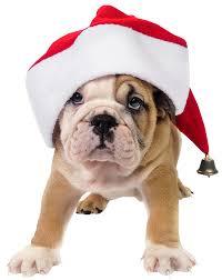 cute bulldog puppy at christmas christmas dogs pinterest