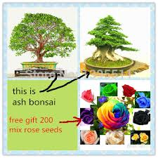 gift tree free shipping 30 ash tree bonsai seeds send 200 seeds as gift tree seeds