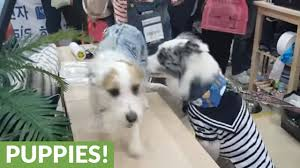 australian shepherd jack russell terrier love at first sight border collie and jack russell youtube