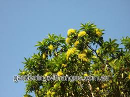 gardening with angus bringing you the best in australian plants