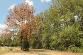 drought likely to kill millions of houston trees houston chronicle