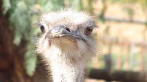 file south african ostrich jpg wikimedia commons