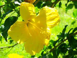 Yellow Hibiscus Flowers - flower plant beautiful yellow florida hibiscus flowers bush nature