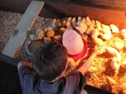 winter broiler projects share your progress backyard chickens