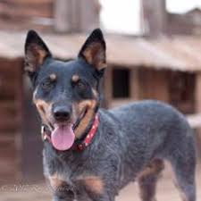 blue heeler x australian shepherd bailey blue our australian cattle blue heeler dog loves the