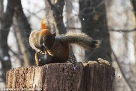 Dramatic Squirrel Meme - get your eyes off my dinner squirrels caught in epic battle as