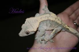 Halloween Crested Gecko Morph by Gqr U0027s Individual Gecko Color Variations Gargoyle Queen Reptiles