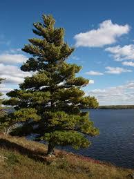 white pine trees eastern white pine the rollo dog