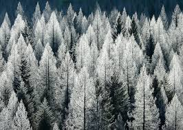 fir trees frosted and back lit winter tony bynum photography