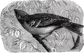 beautiful antique bird engraving the graphics fairy