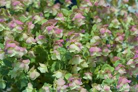 kent ornamental oregano