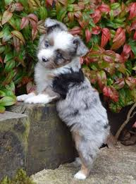 australian shepherd mini puppy 316 best australian shepherds images on pinterest animals