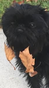 affenpinscher won westminster 22 best all things affenpinscher images on pinterest animals