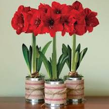 amaryllis in hyacinth vases welcome to my page about amaryllis