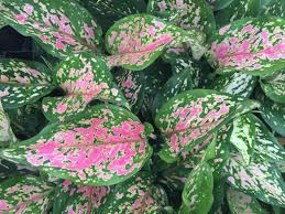 australian native screening plants aglaonema