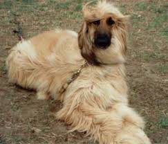 afghan hound lifespan afghan hound afghan hounds breed