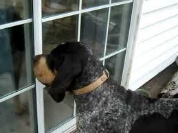 bluetick coonhound florida mr bluetick coonhound youtube