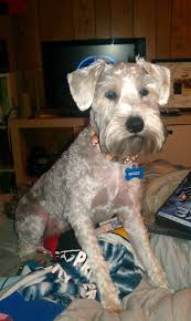 haircut for schnoodle this is what rex looked like after his last