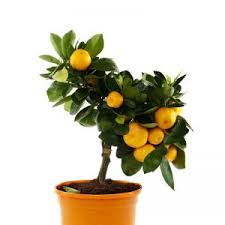 buy fruit plants buy plants lilplants
