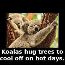 Hot Day Meme - koalas hug trees to cool off on hot days meme on sizzle
