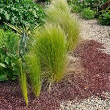 ornamental grass nassella tenuissima white flower farm