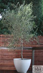 olive tree suitable for courtyards and pots hardy wind