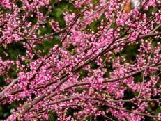 trees with pink flowers flowering trees for types of trees hgtv
