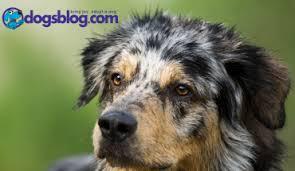 german shepherd x australian shepherd rottweiler cross dogs for adoption and rescue