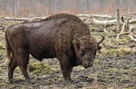 european bison wikipedia