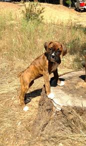 feeding a boxer dog 438 best dog images on pinterest boxer love animals and boxer