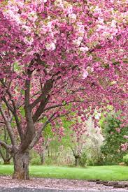 trees with pink flowers 5 secrets to getting gorgeous flowers driveways cherry