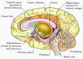 best 25 brain diagram ideas on pinterest diagram of the brain