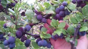 edible australian native plants forum sloe berries